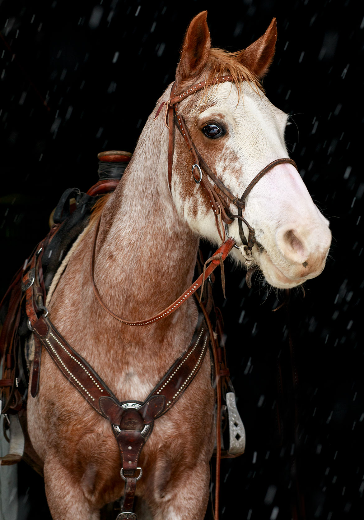 Horse Portrait - Jean Sweet Photography